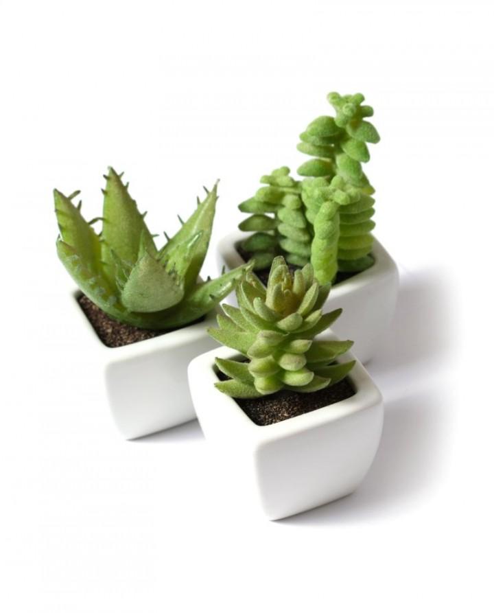 Zdjecie Nr 3 Kaktusy Doniczkowe Galeria Kwiaty Na