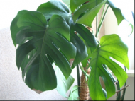 Monstera dziurawa (Monstera deliciosa).